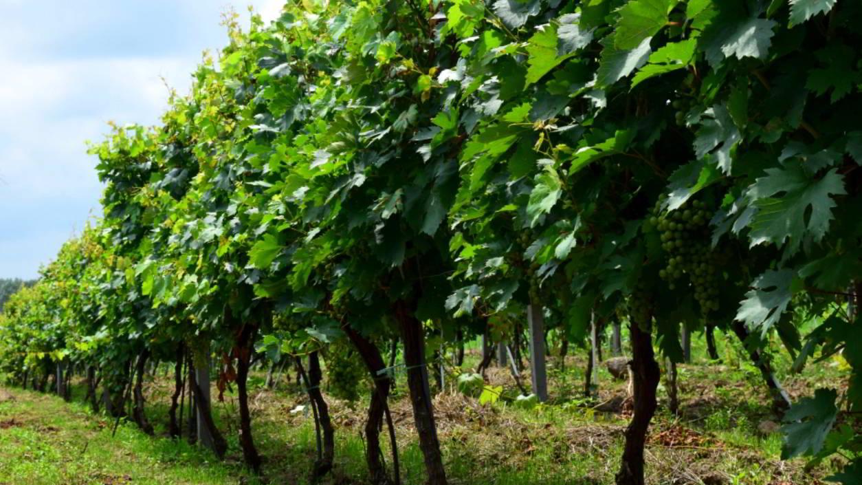 "How King Carol II gave the ""vinegar-like sour Austrian wines"" for the sweet wines from Murfatlar"
