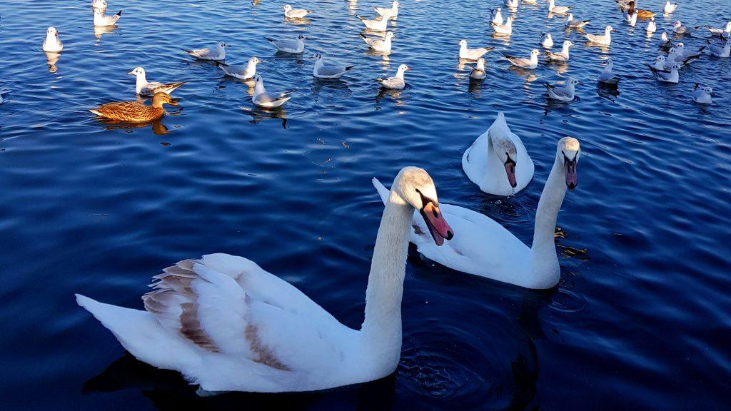 Lebede pe Lacul Tăbăcărie