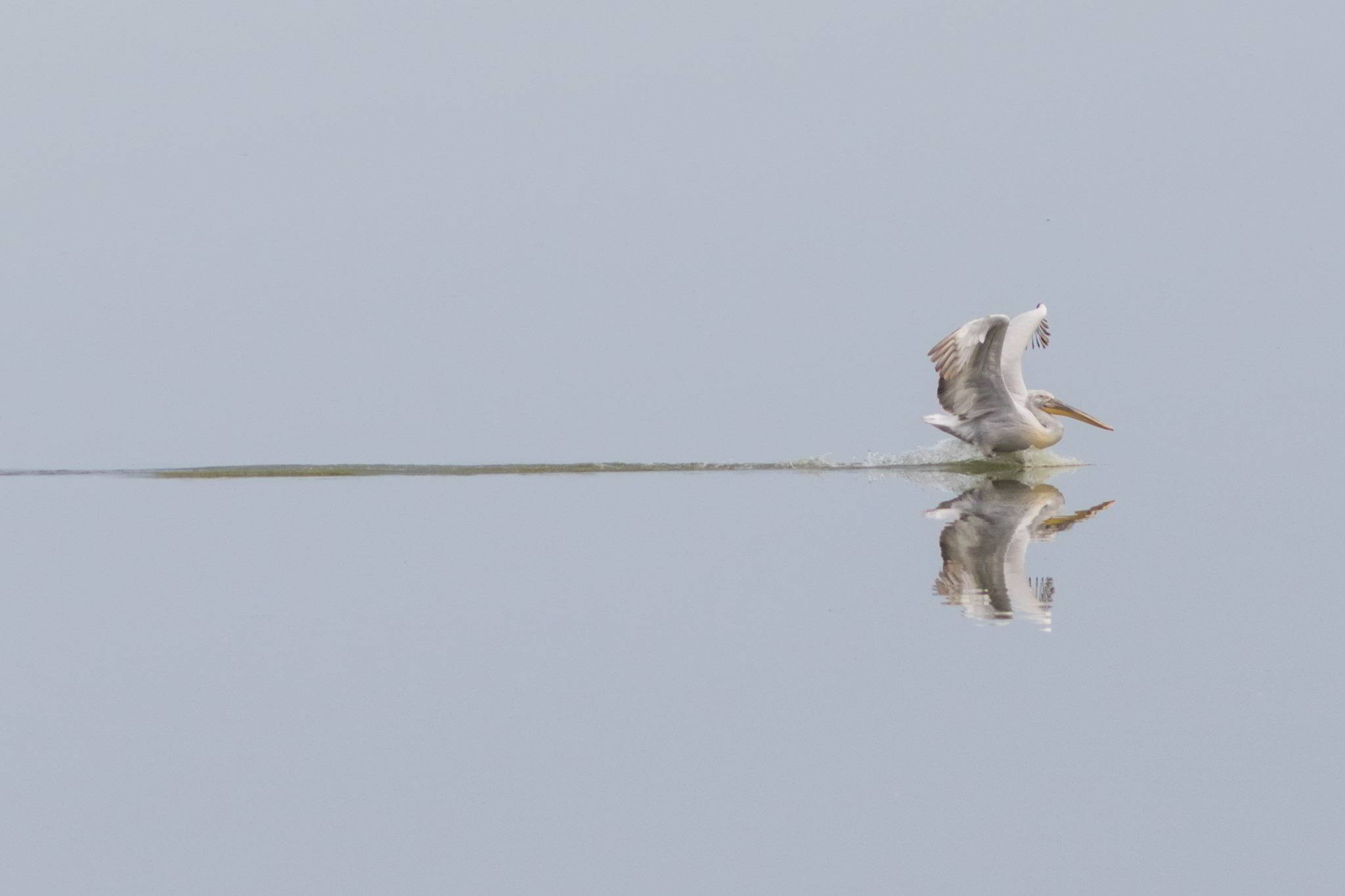 Pelican cret Dobrogea