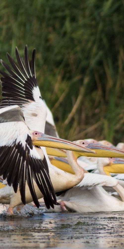 Pelican comun Dobrogea