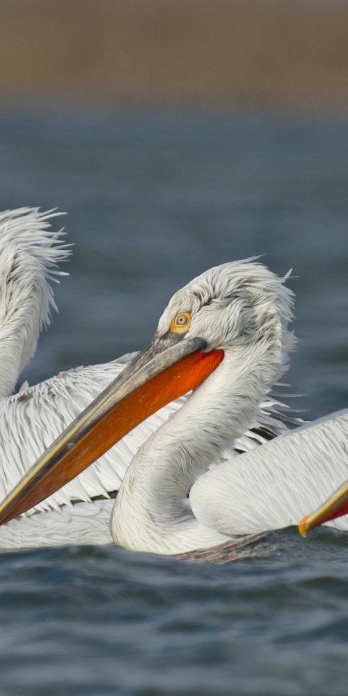 Pelicani creti