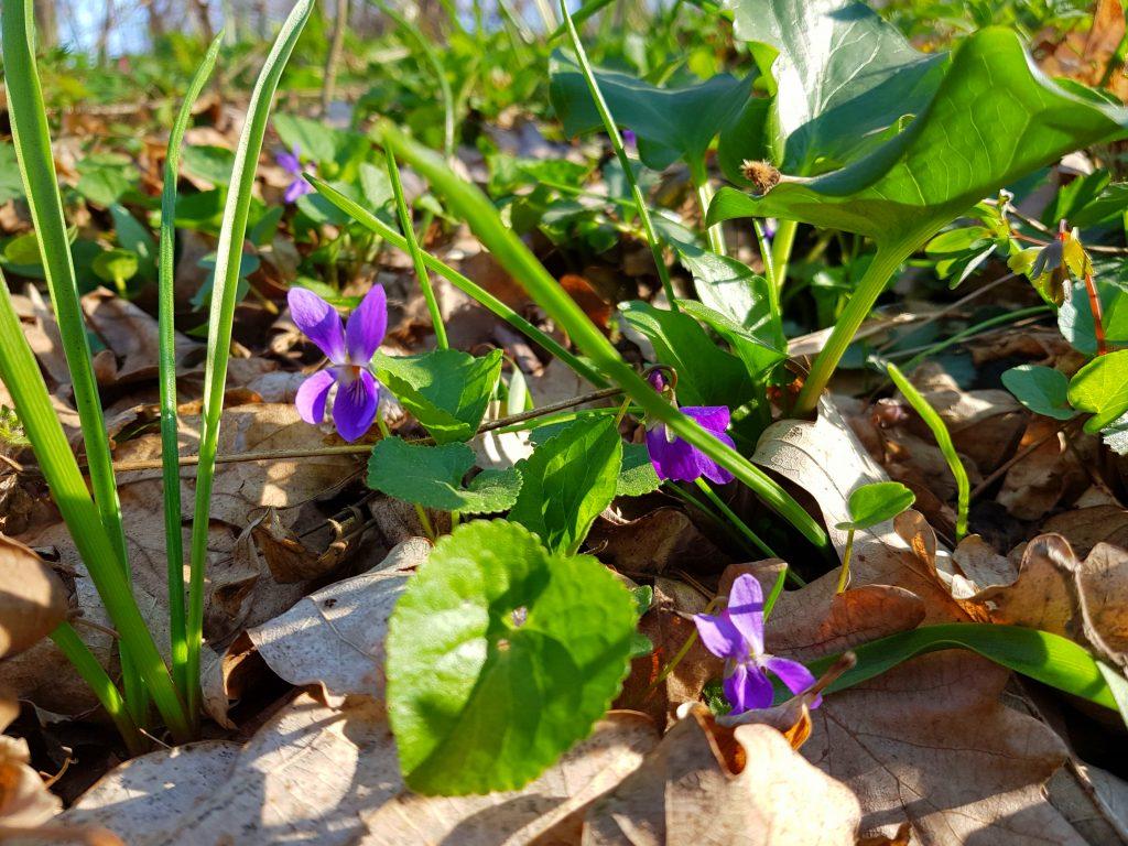 plante paduri Dobrogea