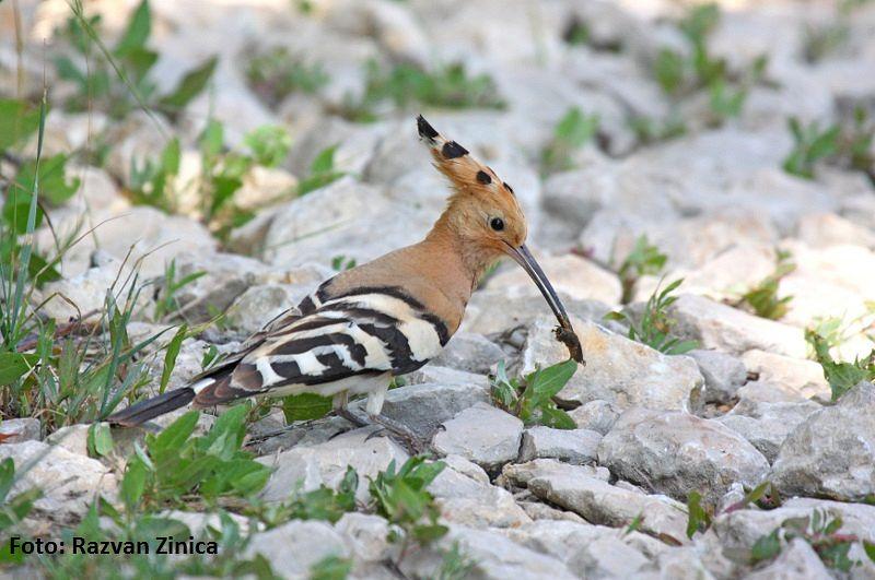 migratia-pasarilor-prima-care-vine-in-dobroga-este-Pupaza