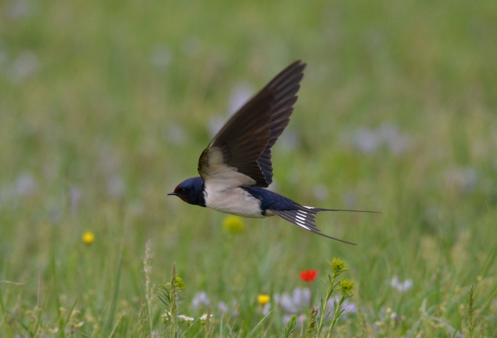 migratia-pasarilor-primavara-dobrogea-Randunica