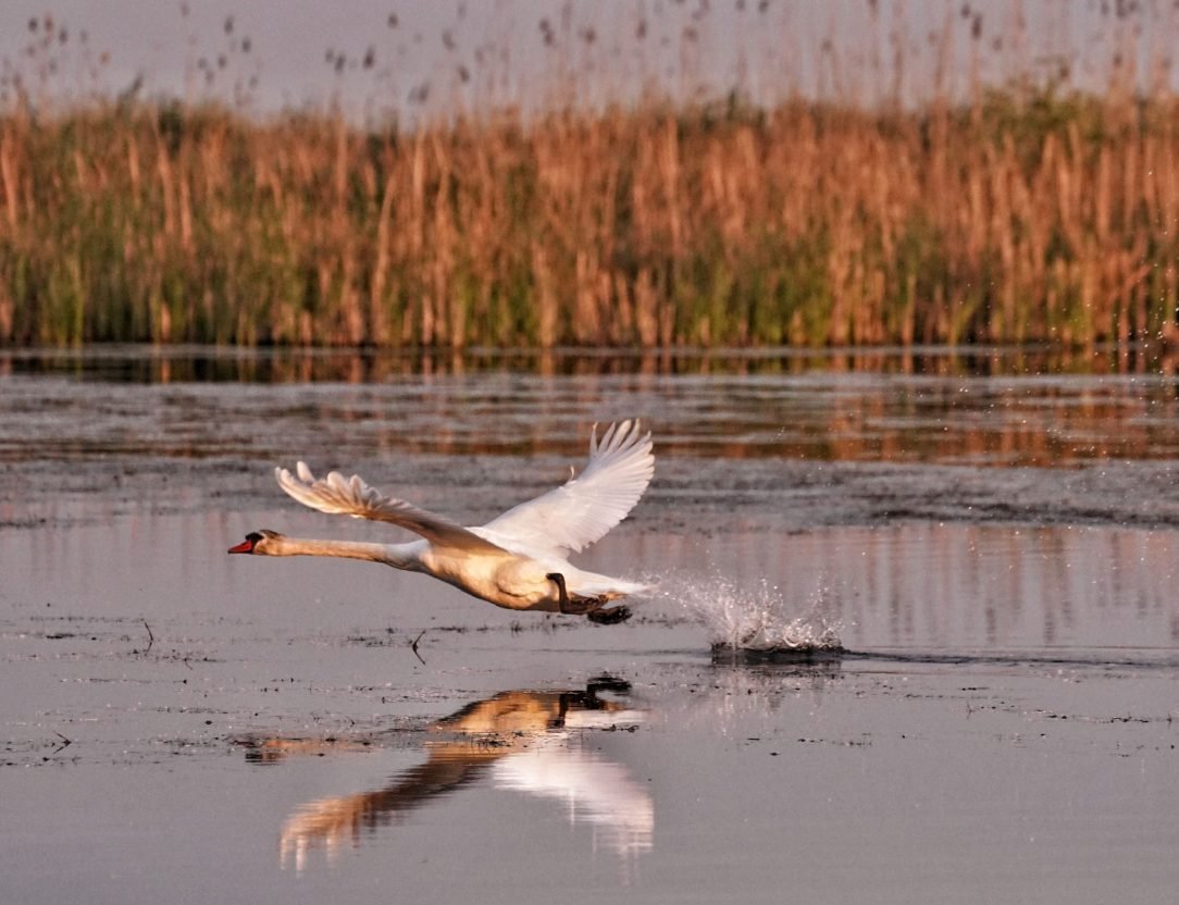 lebada-zbor-apa-delta-dunarii