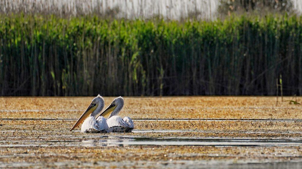 pelicani-comuni-delta-dunarii