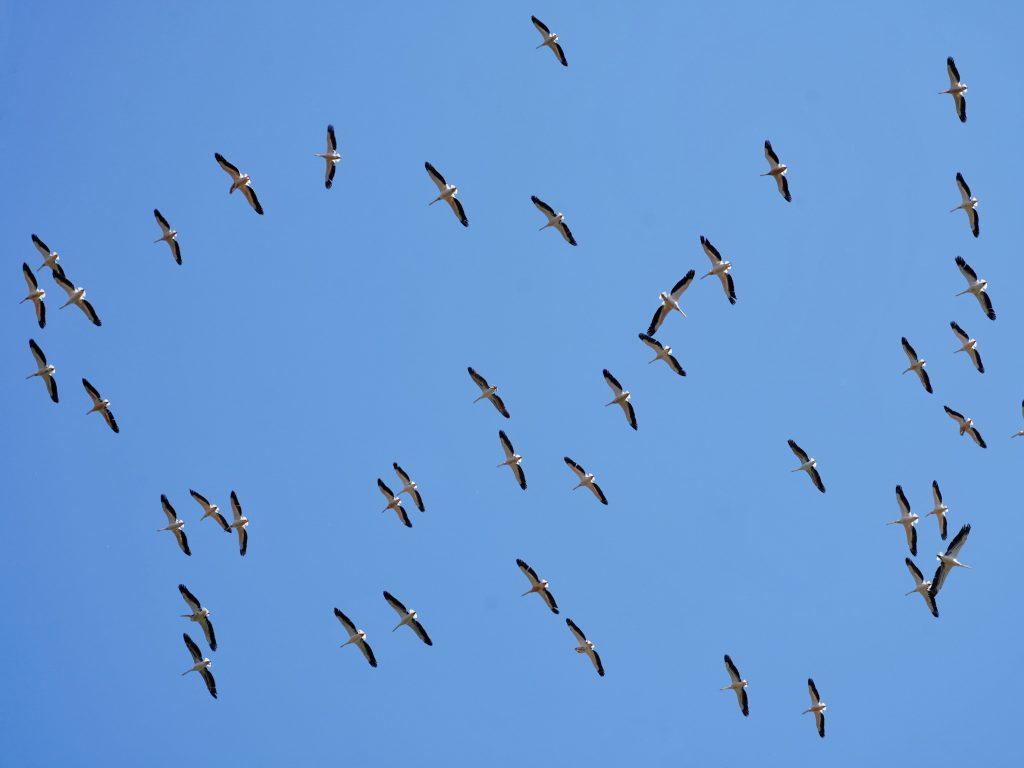 Colonie-pelicani-zbor-delta-dunarii