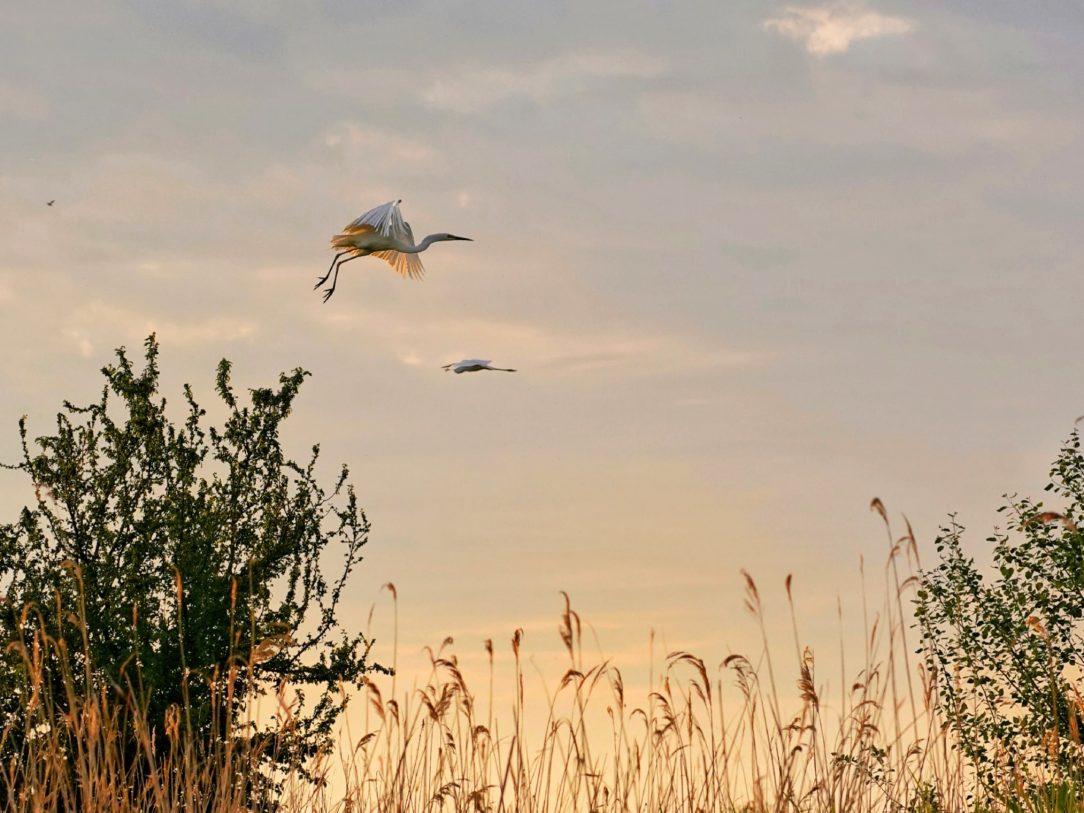 egreta-zbor-delta-dunarii