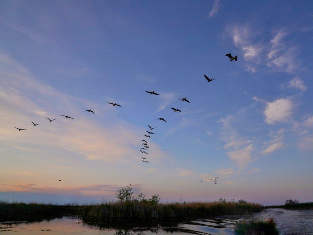 pelicani-zbor-delta-dunarii
