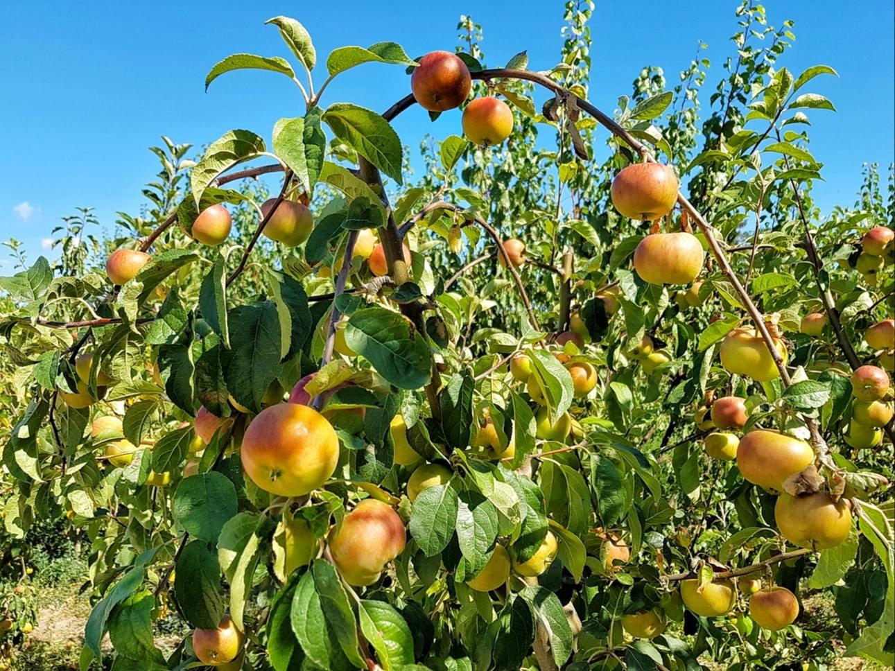 Sabangia, livada din care îți poți culege fructe zemoase și gustoase