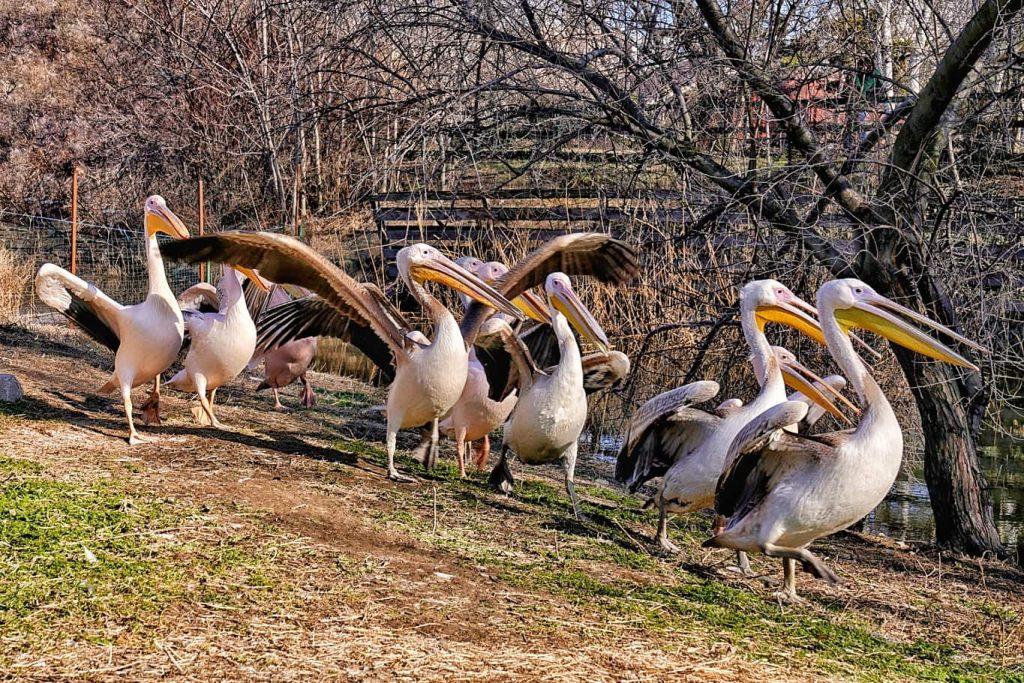 ziua-mondiala-a-pasarilor-pelicani