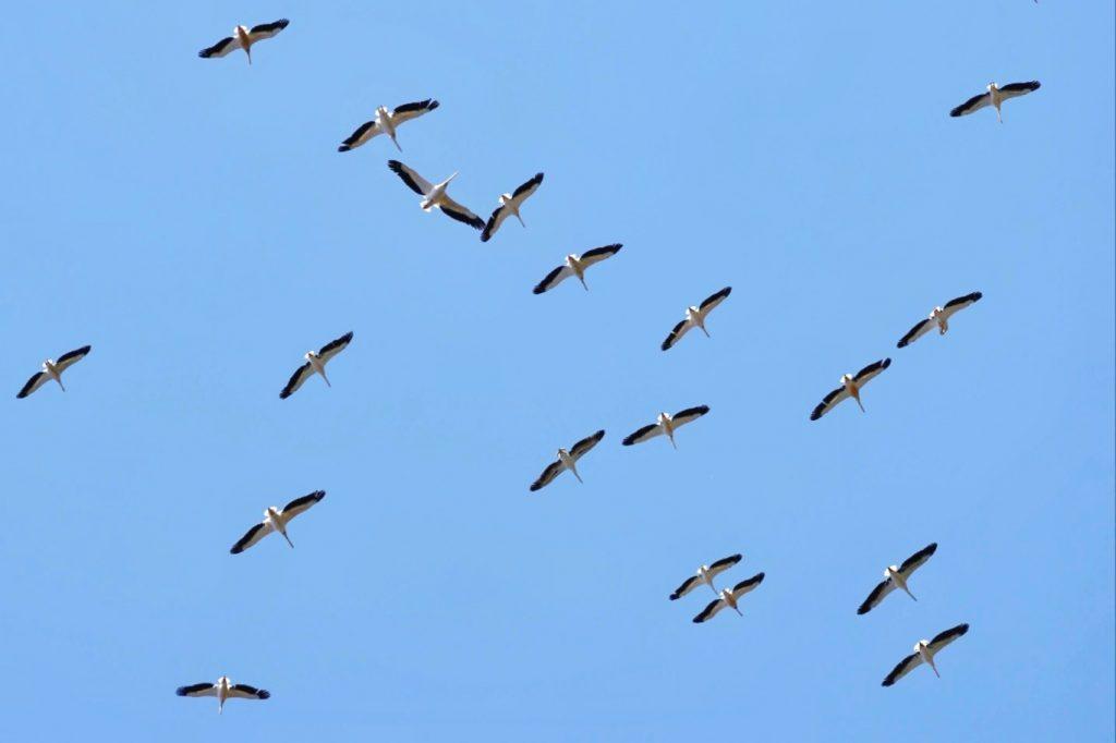 ziua-mondiala-a-pasarilor-pasari-in-migratie