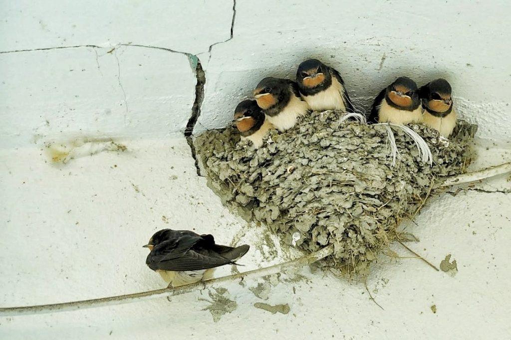 cuib-de-randunica-ziua-mondiala-a-pasarilor-1-aprilie