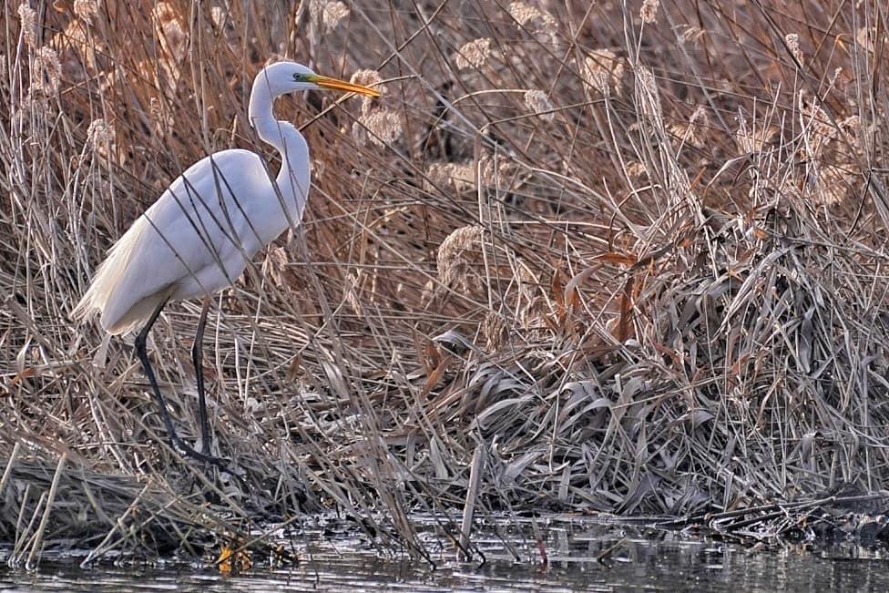 egreta-delta-dunarii-ziua-mondiala-a-pasarilor