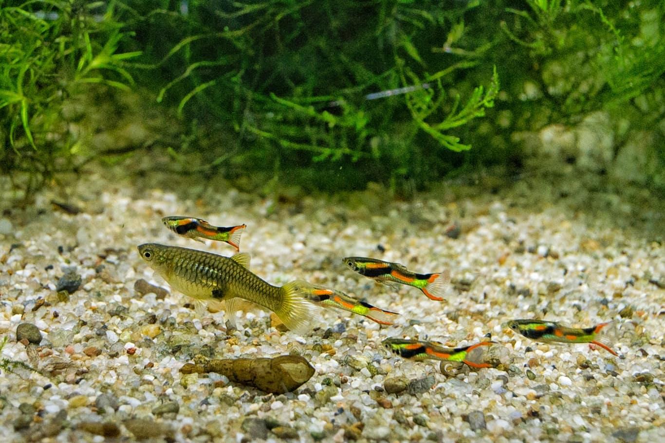 Specia de pește Poecilia wingei dispărută din habitatul natural, este conservată în Constanța