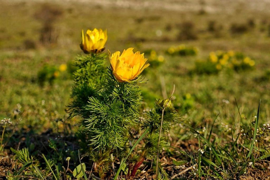 rușcuța-de-primavara-floarea-pastelui-a-inflorit-in-dobrogea