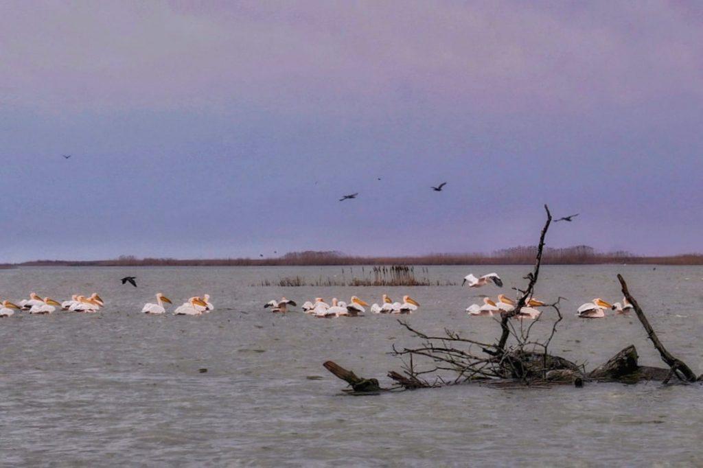 colonie-de-pelicani-pe-insula-sahalin-delta-dunarii