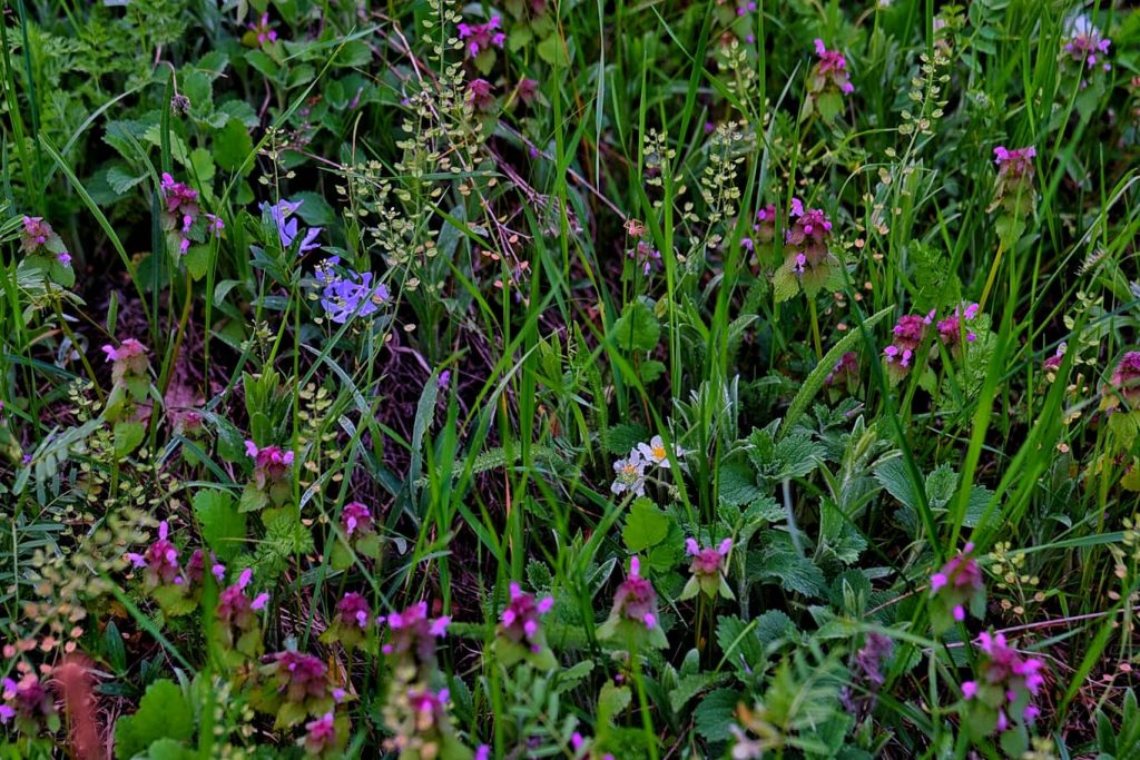 flori-colorate-muntii-macinului