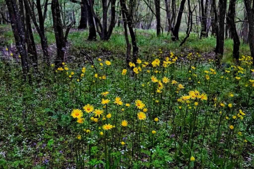 flori-de-primavara-in-muntii-macinului