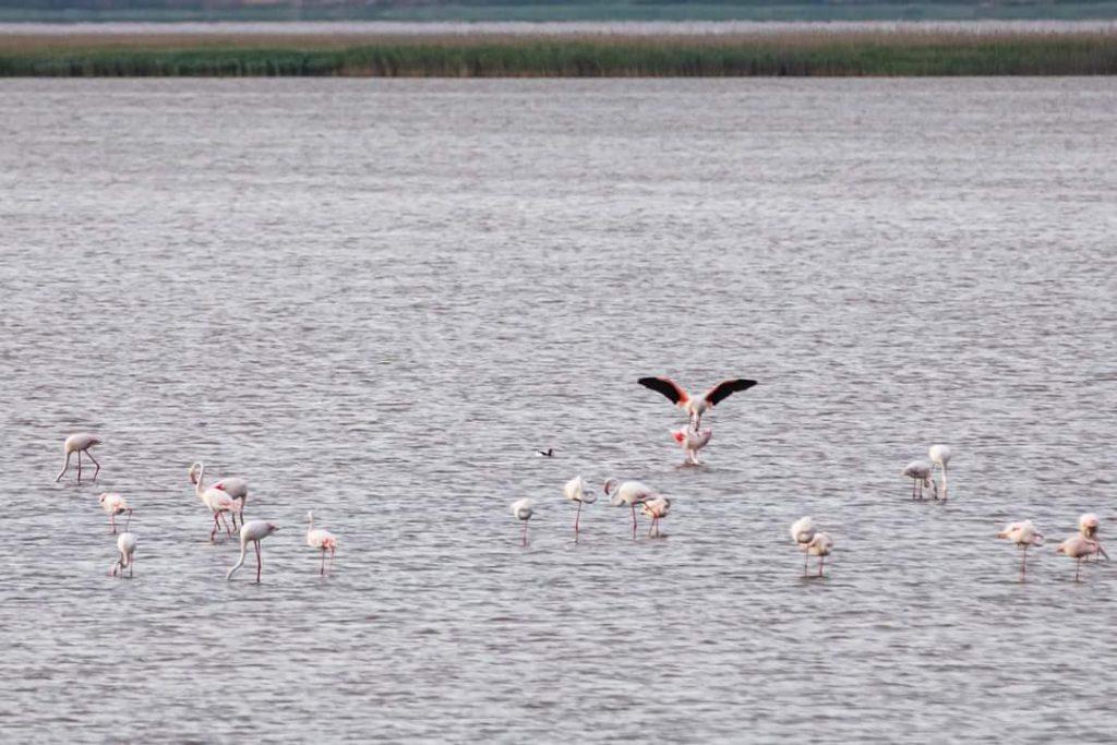 pasari-flamingo-lacul-tuzla-judetul-constanta