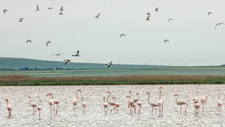 Zeci de păsări flamingo poposesc zilele acestea pe Lacul Tuzla din județul Constanța