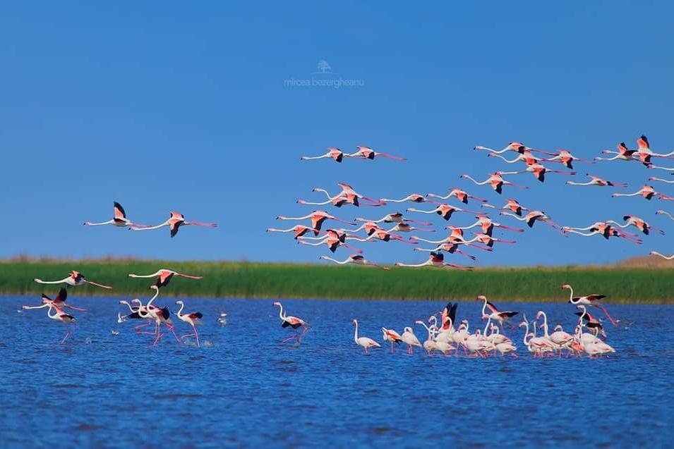 păsări-flamingo-dobrogea-foto-mircea-bezergheanu