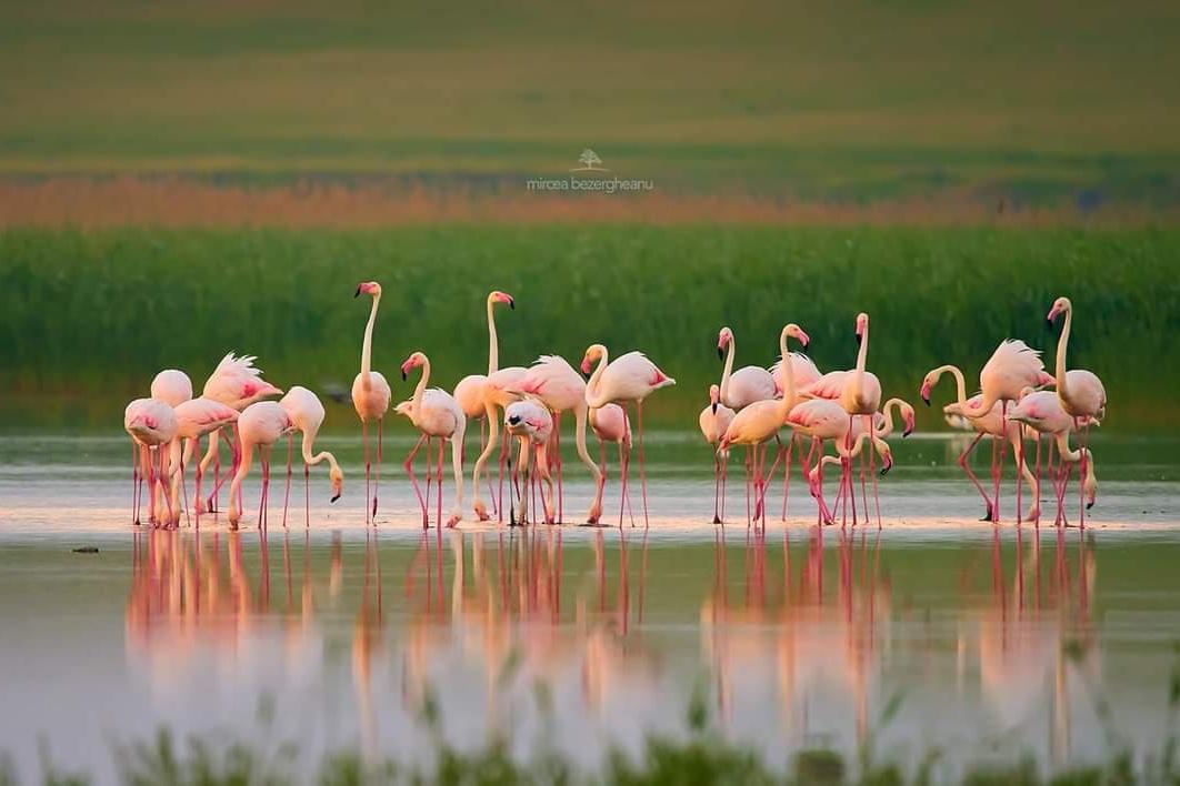 De ce au ajuns păsările flamingo în Dobrogea și cum să le observăm fără să le stresăm