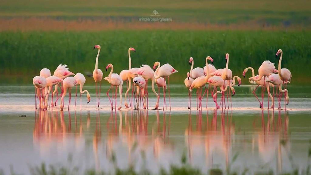 flamingo-dobrogea-lacul-tulzla-constanta-foto-mircea-bezergheanu