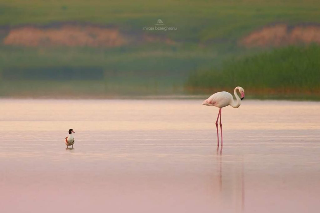 flamingo-pe-lacul-tuzla-constanta-foto-mircea-bezergheanu