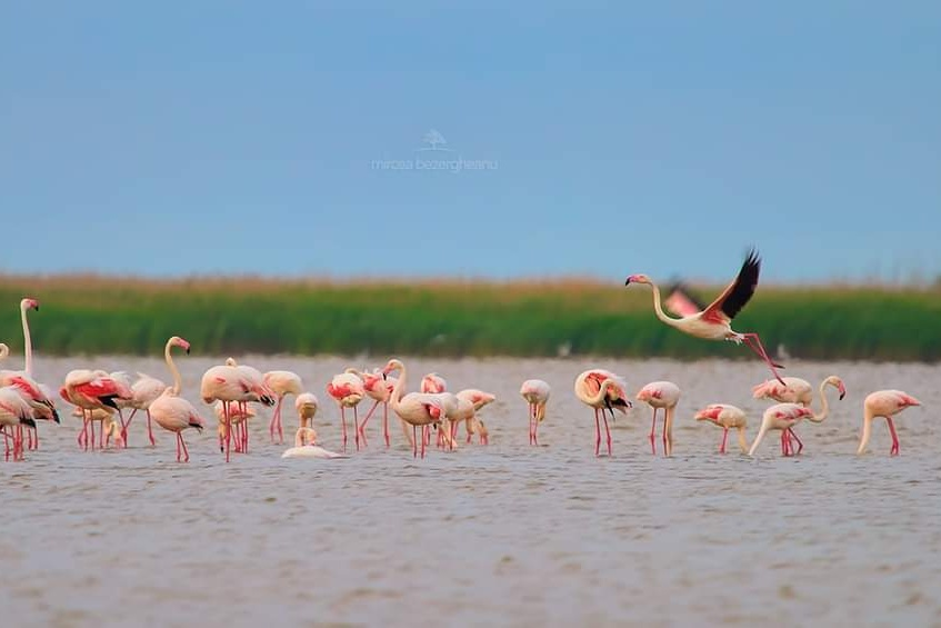 flamingo-in-dobrogea-mircea-bezergheanu-foto