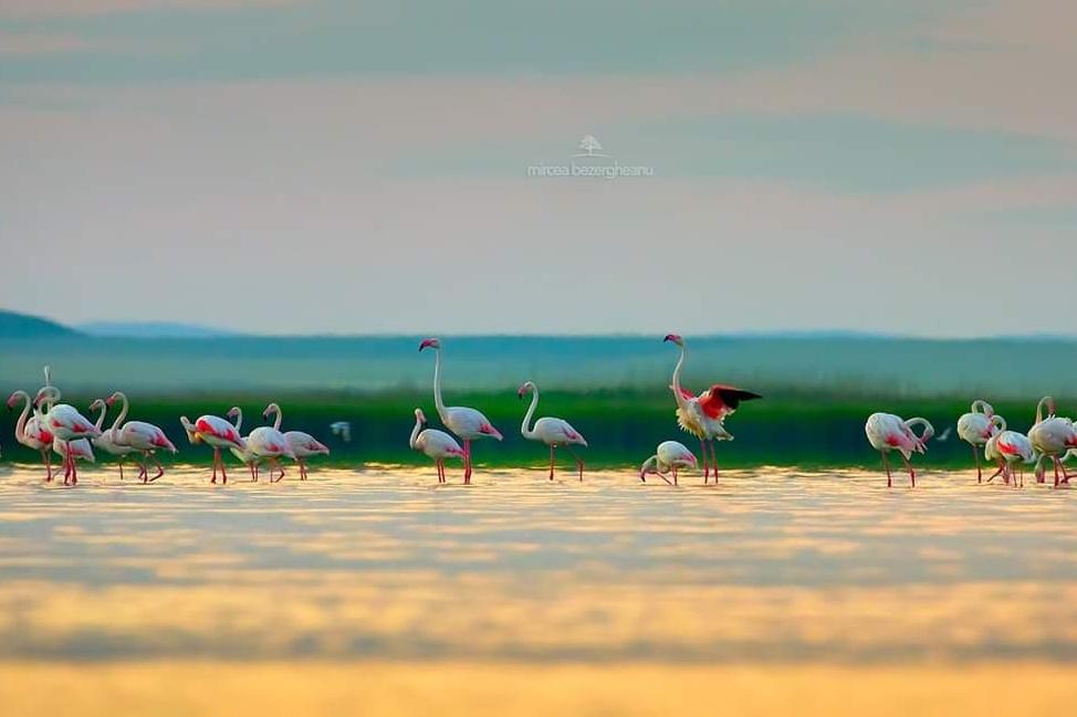 păsări-flamingo-în-dobrogea