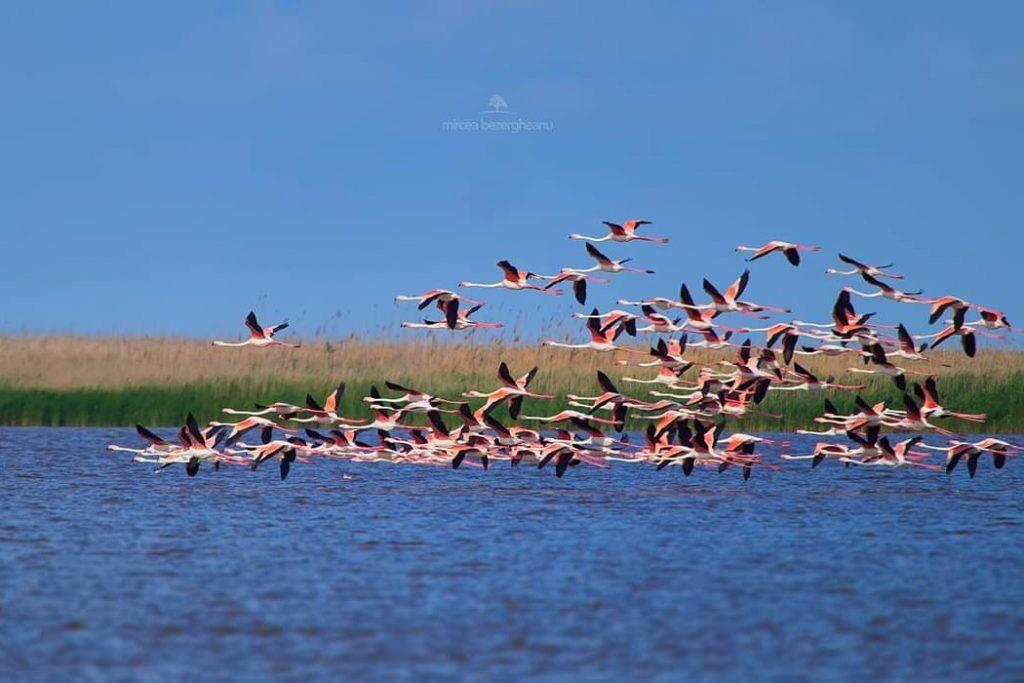 flamingo-dobrogea-foto-mircea-bezergheanu
