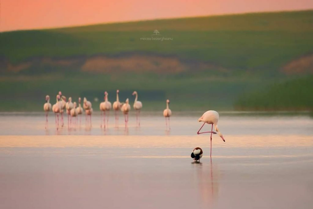 Flamingo-foto-mircea-bezergheanu