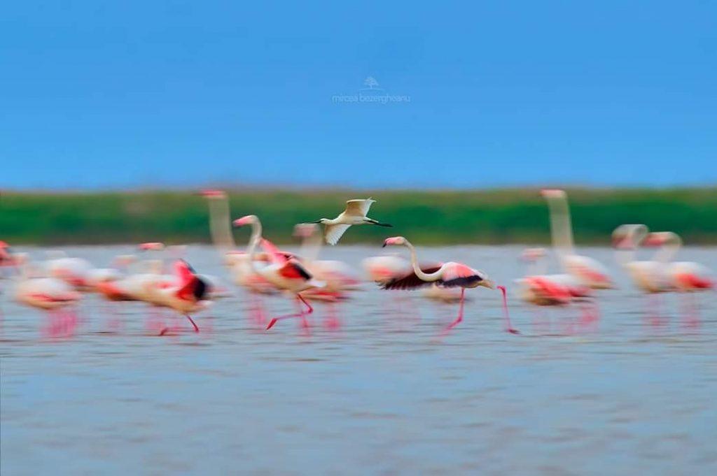 Pasari-flamingo-lacul-tuzla-constanta-foto-mircea-bezergheanu
