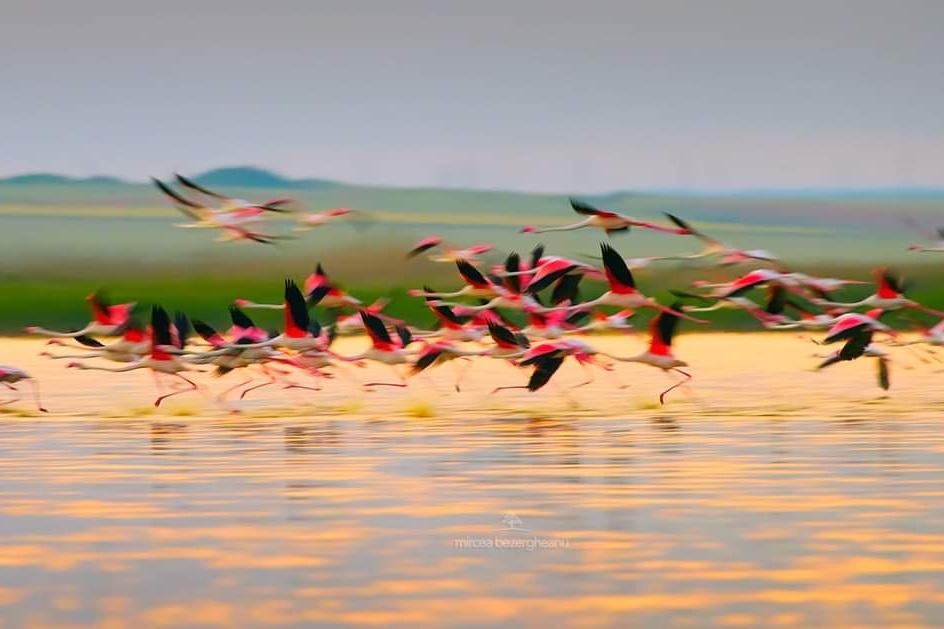 Pasari-rare-pe-lacul-tuzla-foto-mircea-bezergheanu