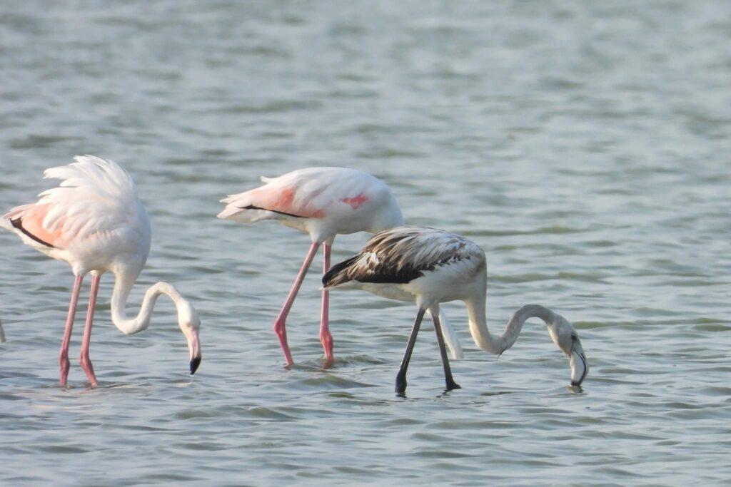 pasarile-flamingo-au-cuibarit-in-dobrogea