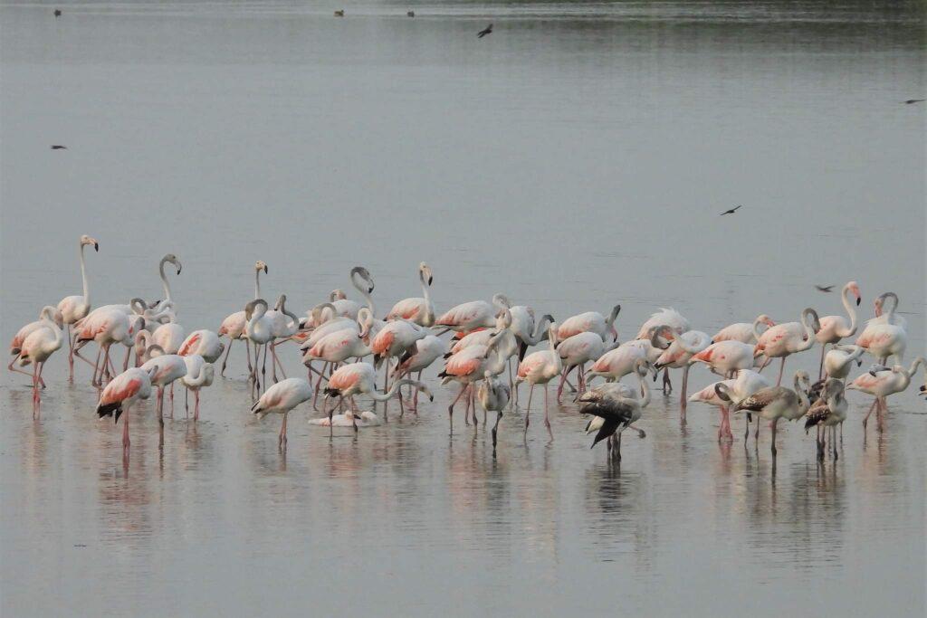 pasarile-flamingo-au-cuibarit-in-dobrogea-anul-acesta