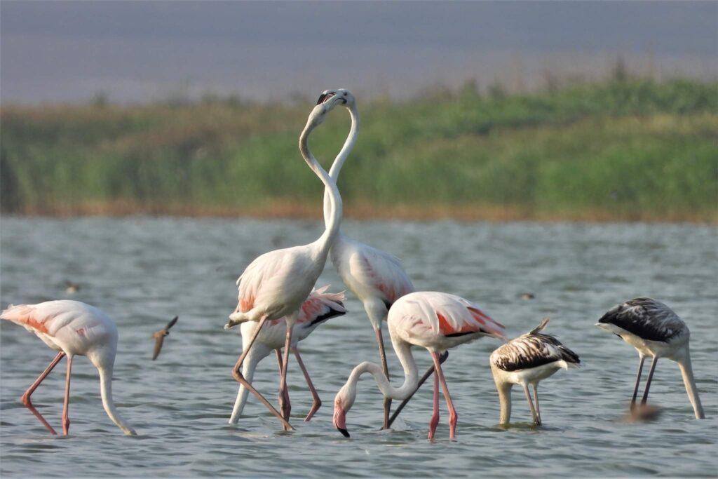 pasarile-flamingo-cuibaresc-in-dobrogea-pentru-prima-data
