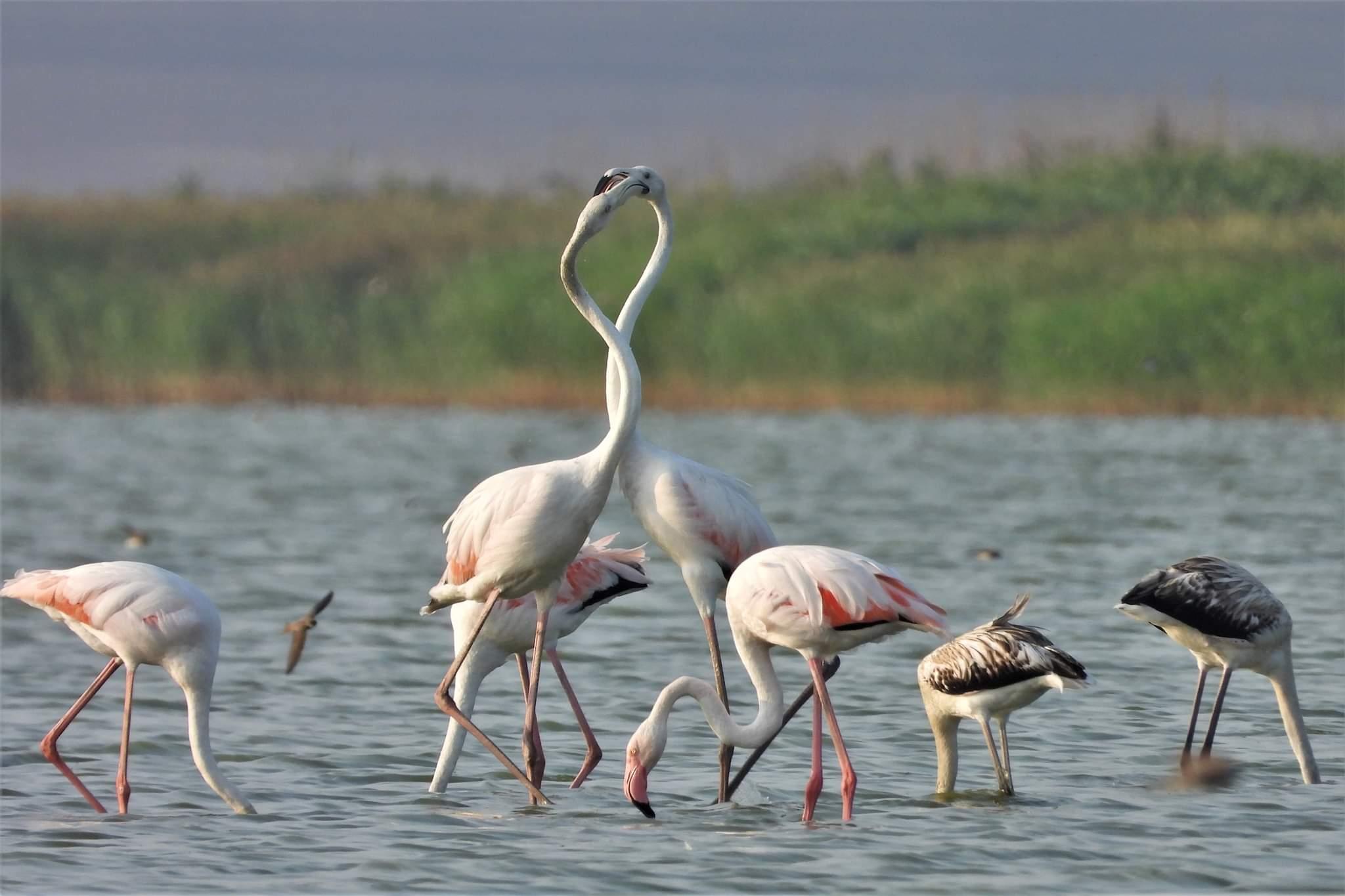Păsările flamingo cuibăresc în Dobrogea pentru prima dată