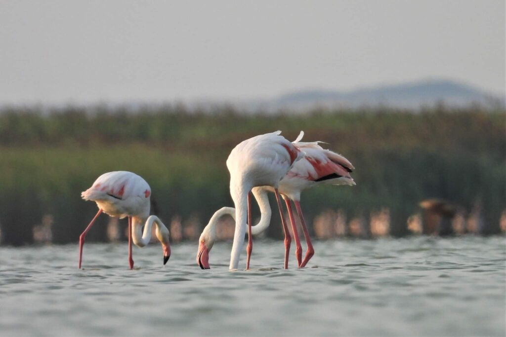 flamingo-in-judetul-constanta